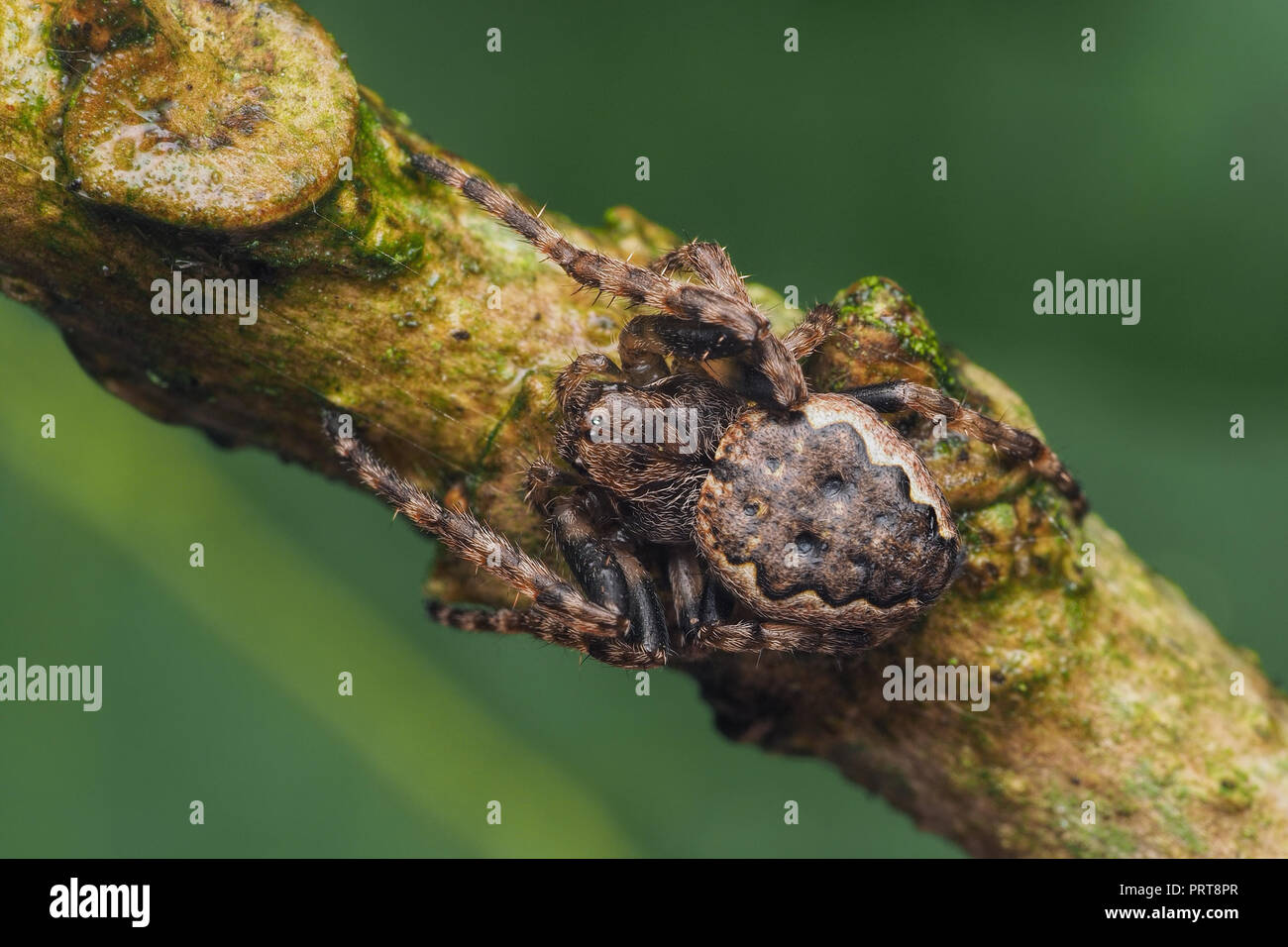 Walnut Orb-weaver spider on tree branch. Tipperary, Ireland - Stock Image
