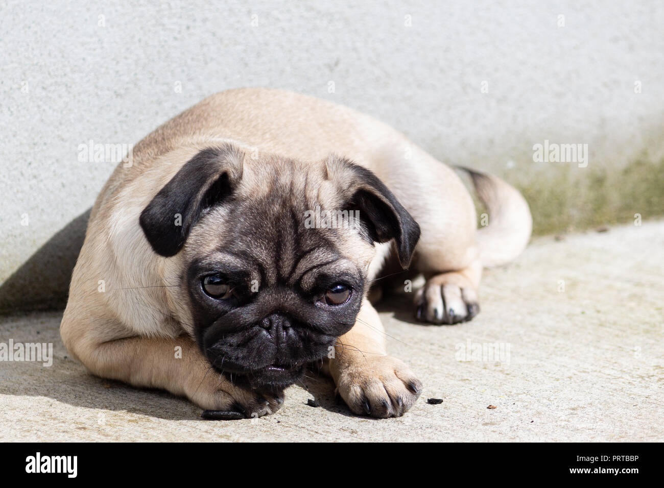 Cute Pug Puppy Lying Down - Stock Image