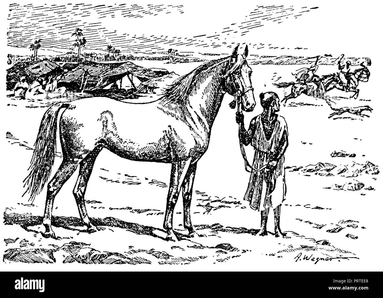 Horse, race: Arab, A. Wagner  1928 Stock Photo