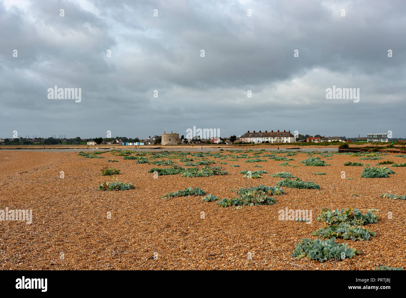Seakale growing on the beach beside the river Deben estuary, Bawdsey Ferry, Suffolk, UK. - Stock Image
