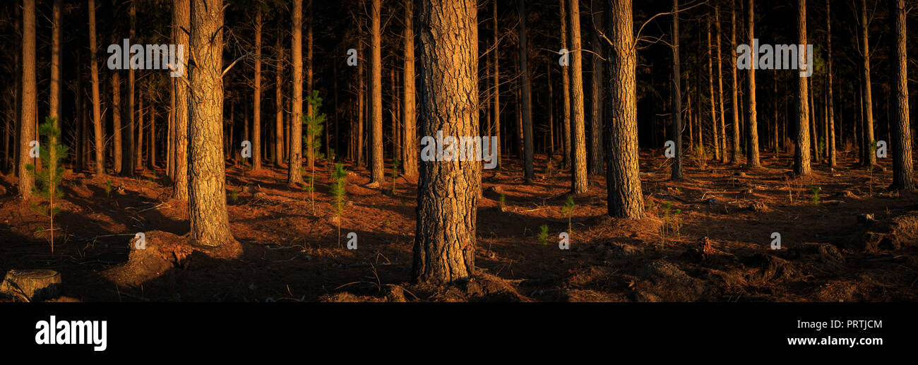 Margaret River Pines - Stock Image