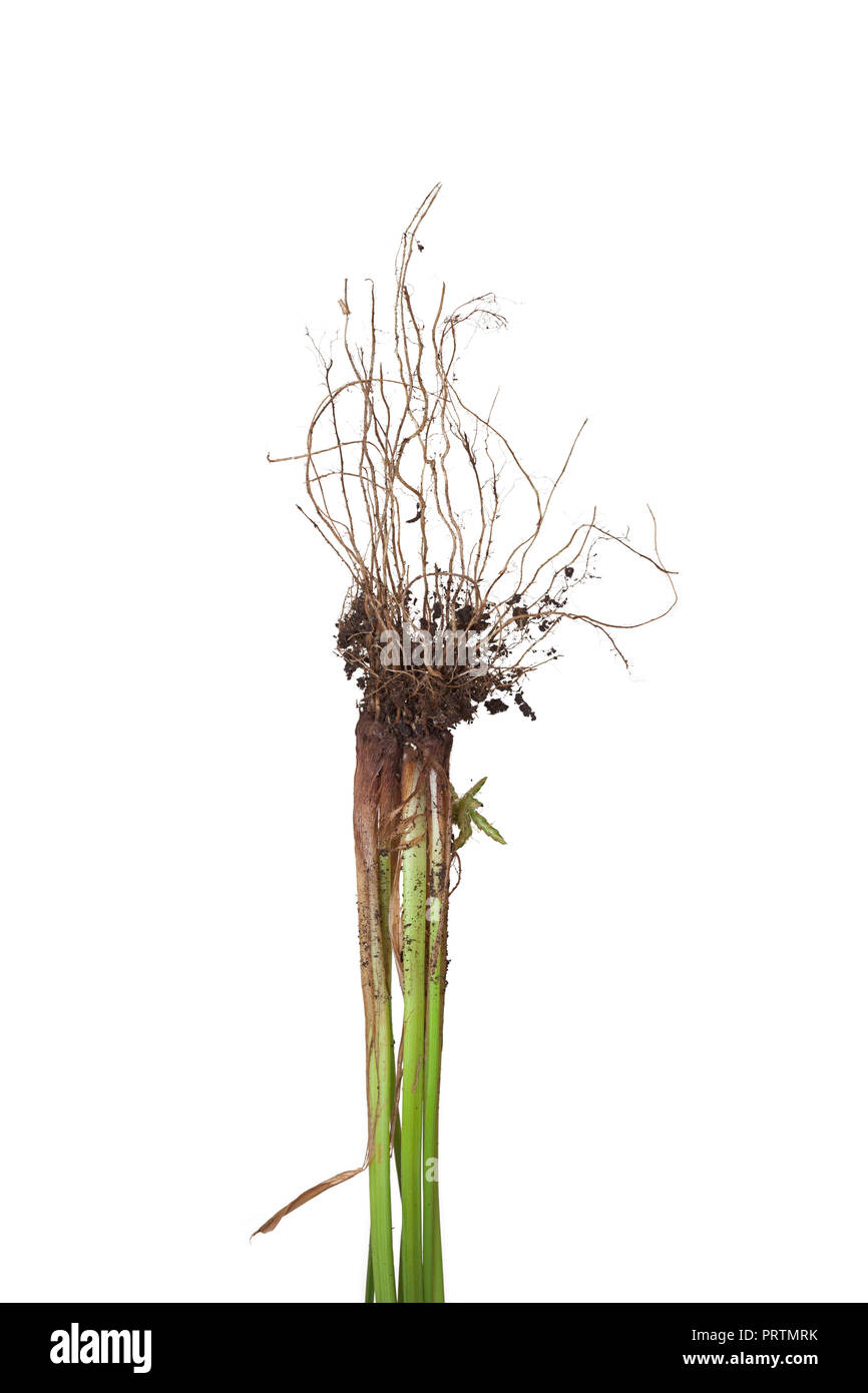 The roots of a nutsedge weed with dirt. The stem and its roots of the grass are on a white background. - Stock Image