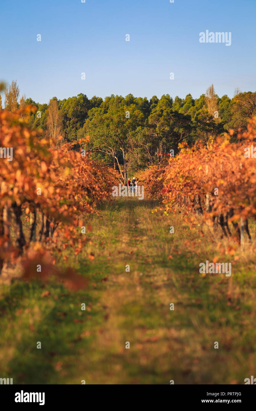 Margaret River Vineyard - Stock Image