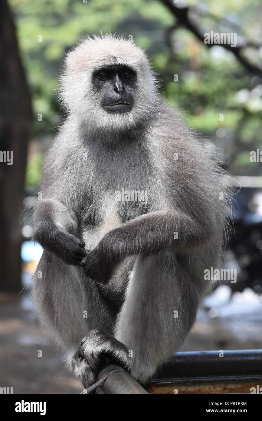 Gray langur in Kasauli, India. - Stock Image