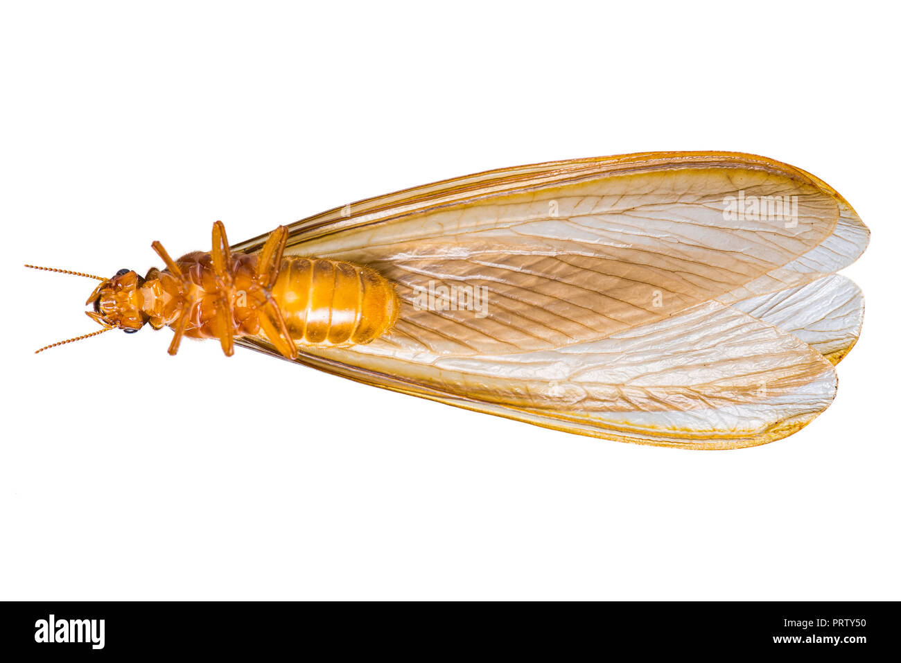 A flying termite or Alates isolated on white background. - Stock Image