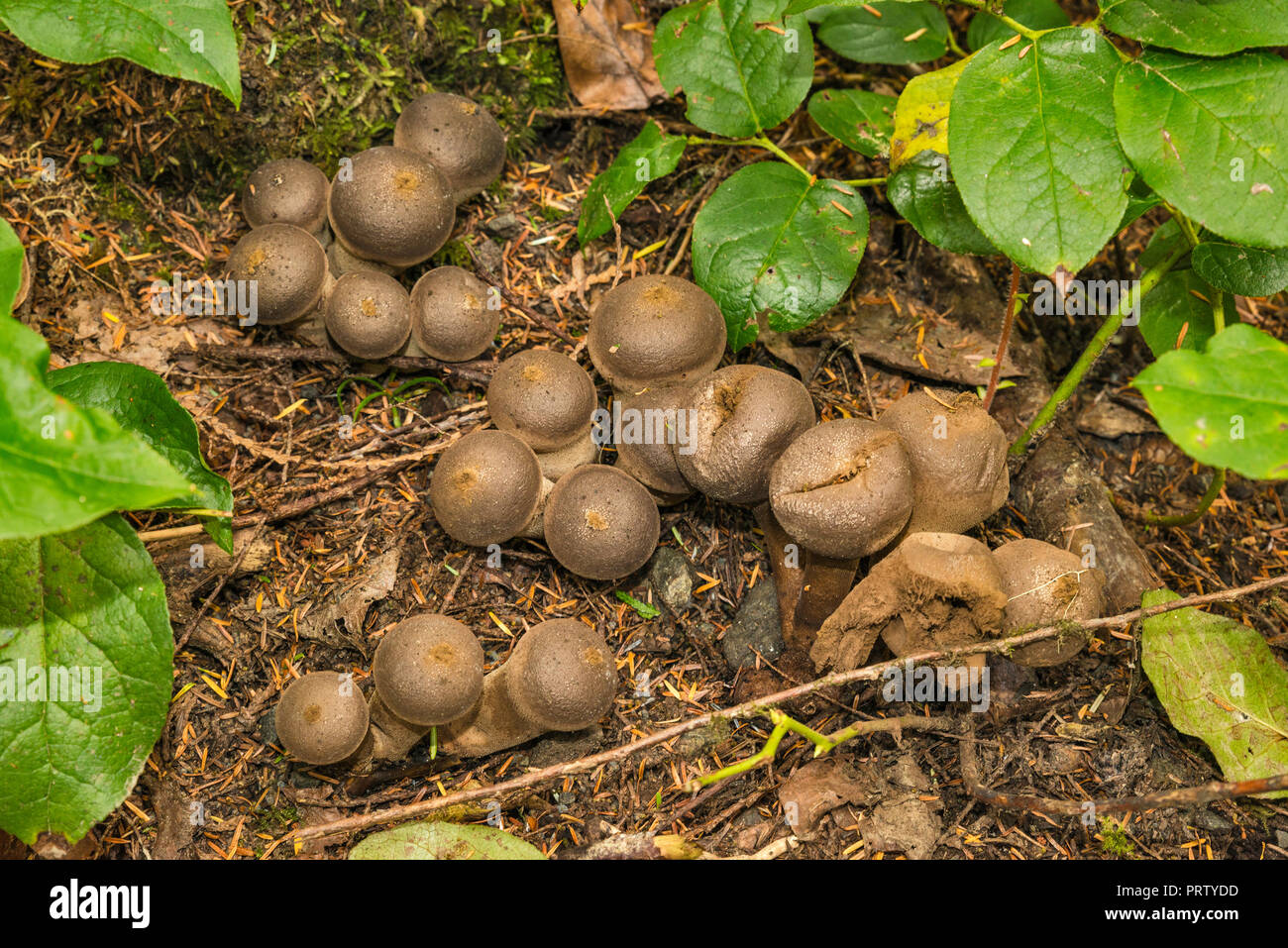 Honey mushrooms, Cape Alava Trail, temperate rain forest, near Cape Alava, Pacific Coast, Olympic National Park, Washington state, USA - Stock Image