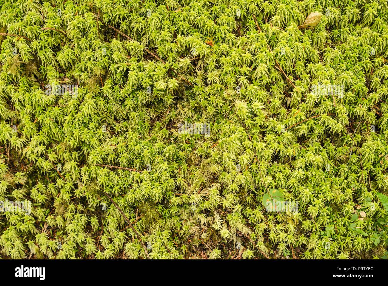 Close-up of moss, Cape Alava Trail, temperate rain forest, near Cape Alava, Pacific Coast, Olympic National Park, Washington state, USA Stock Photo
