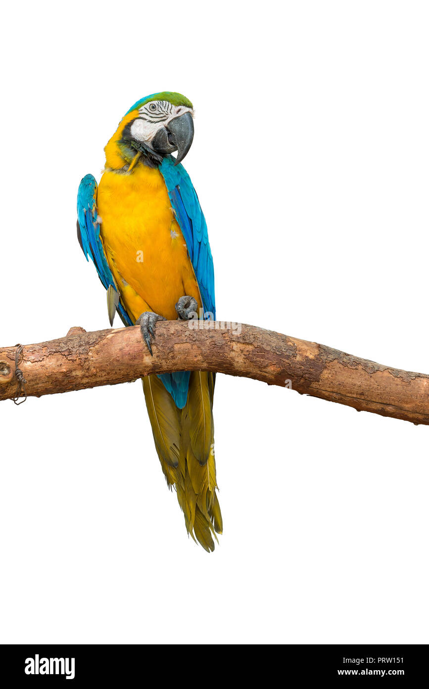 Blue and yellow macaw sit on the branch with one hand look like grabbing something isolated on white background. - Stock Image