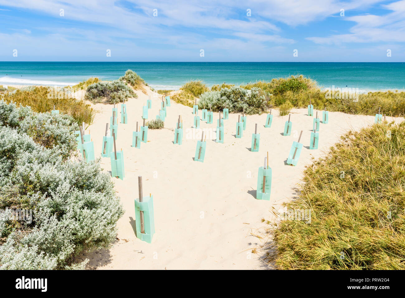 Ongoing dune stabilisation by protecting new plants using plastic tree shelters in a coastal ecosystem in Western Australia - Stock Image