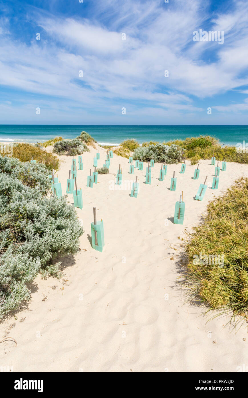 Ongoing dune stabilisation by protecting new plants using plastic tree shelters in a coastal ecosystem in Western Australia Stock Photo