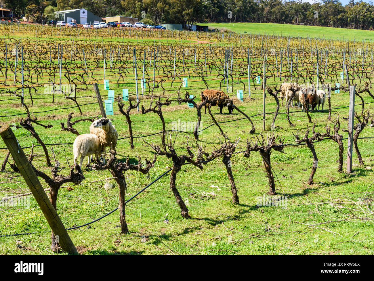 Environmentally friendly method of weed clearing between rows of grapevines at the Hainault Vineyard in the Bickley Valley, Western Australia - Stock Image