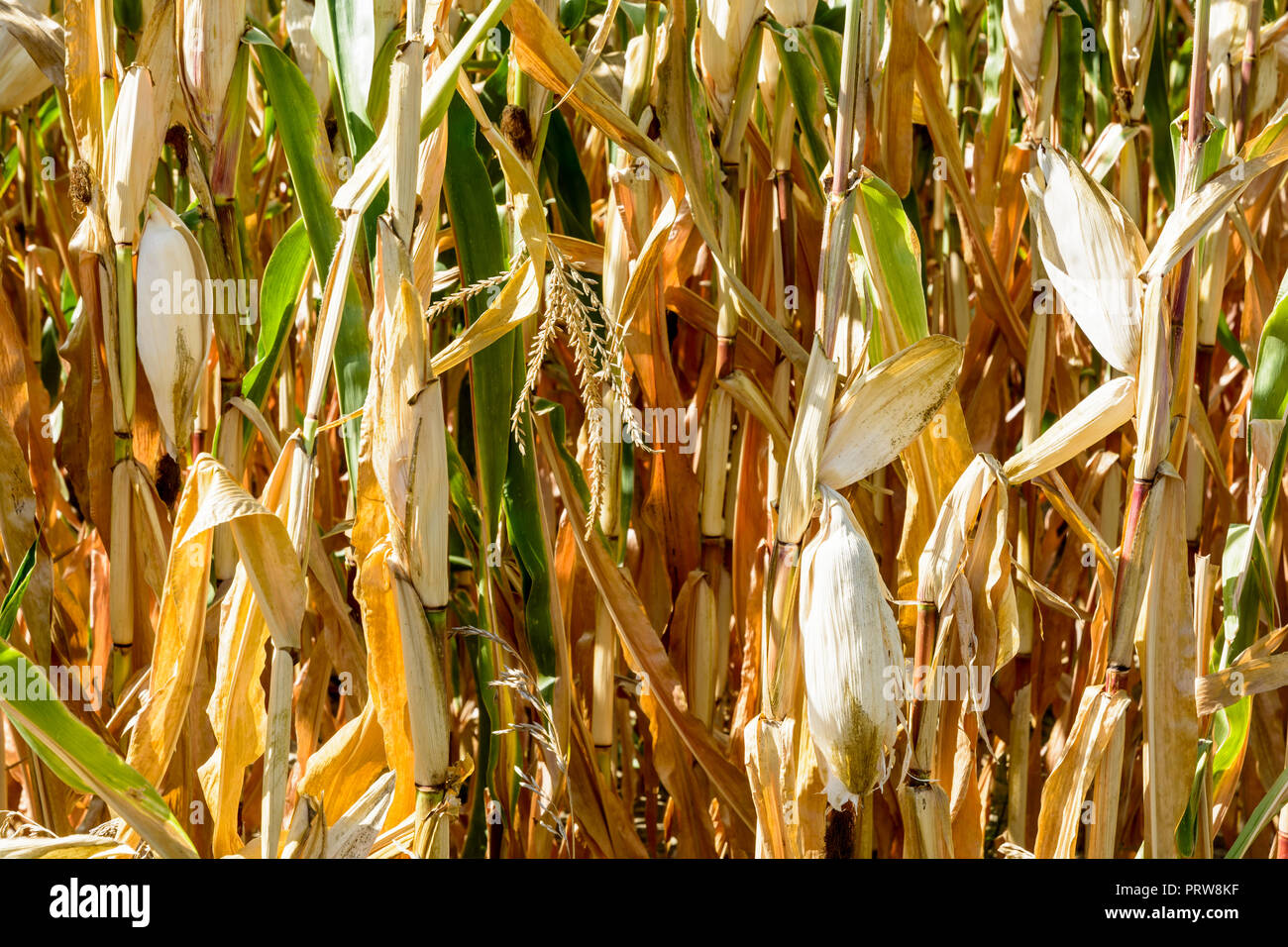 Corn crop suffering from drought. Close-up view of dry ears of corn in a field affected by drought during a hot, dry summer in the french countryside. - Stock Image