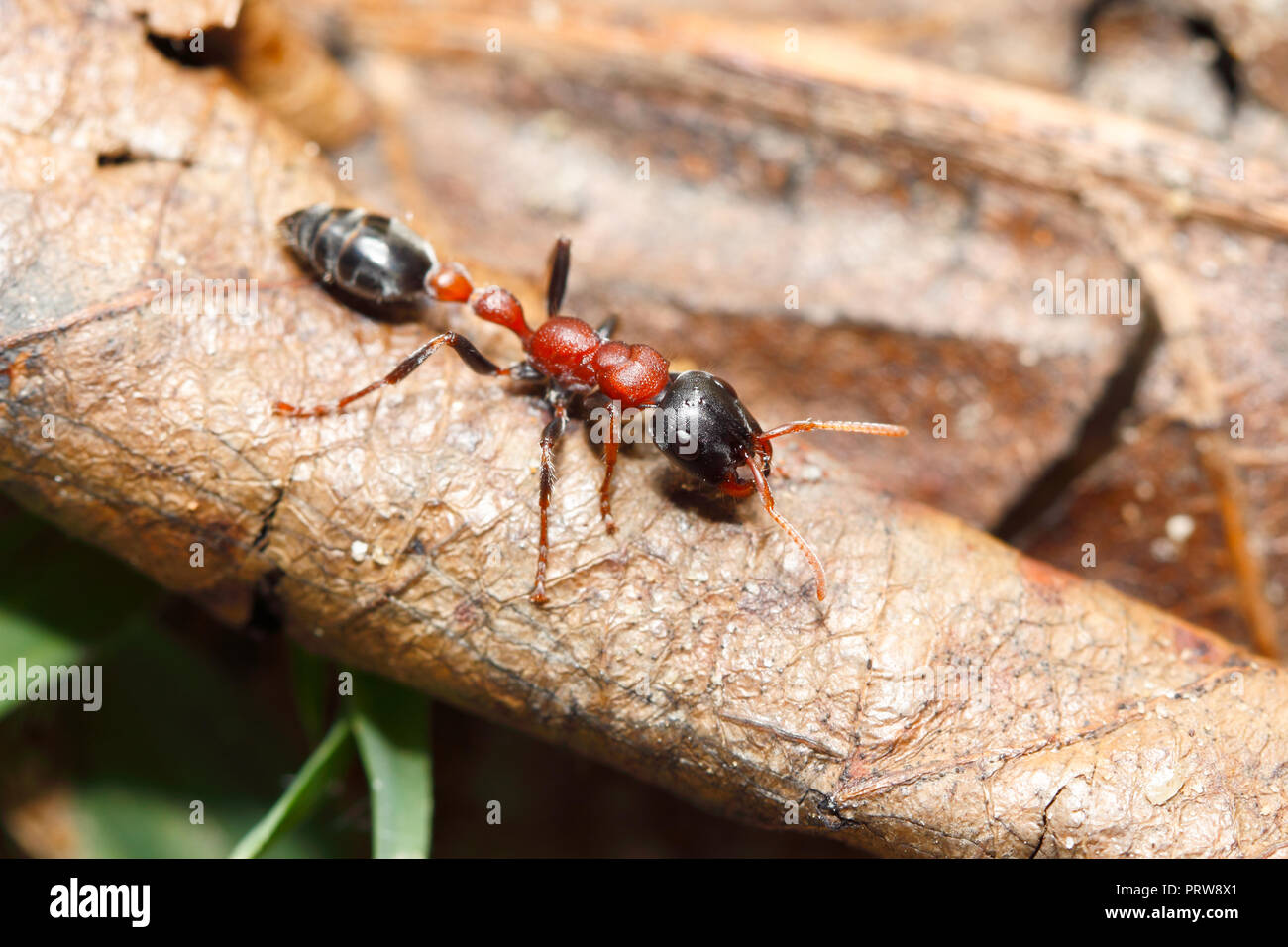 Bi-coloured arboreal ant (Tetraponera rufonigra) : ant that have painful sting can cause allergic reactions and dead in human by anaphylactic shock - Stock Image