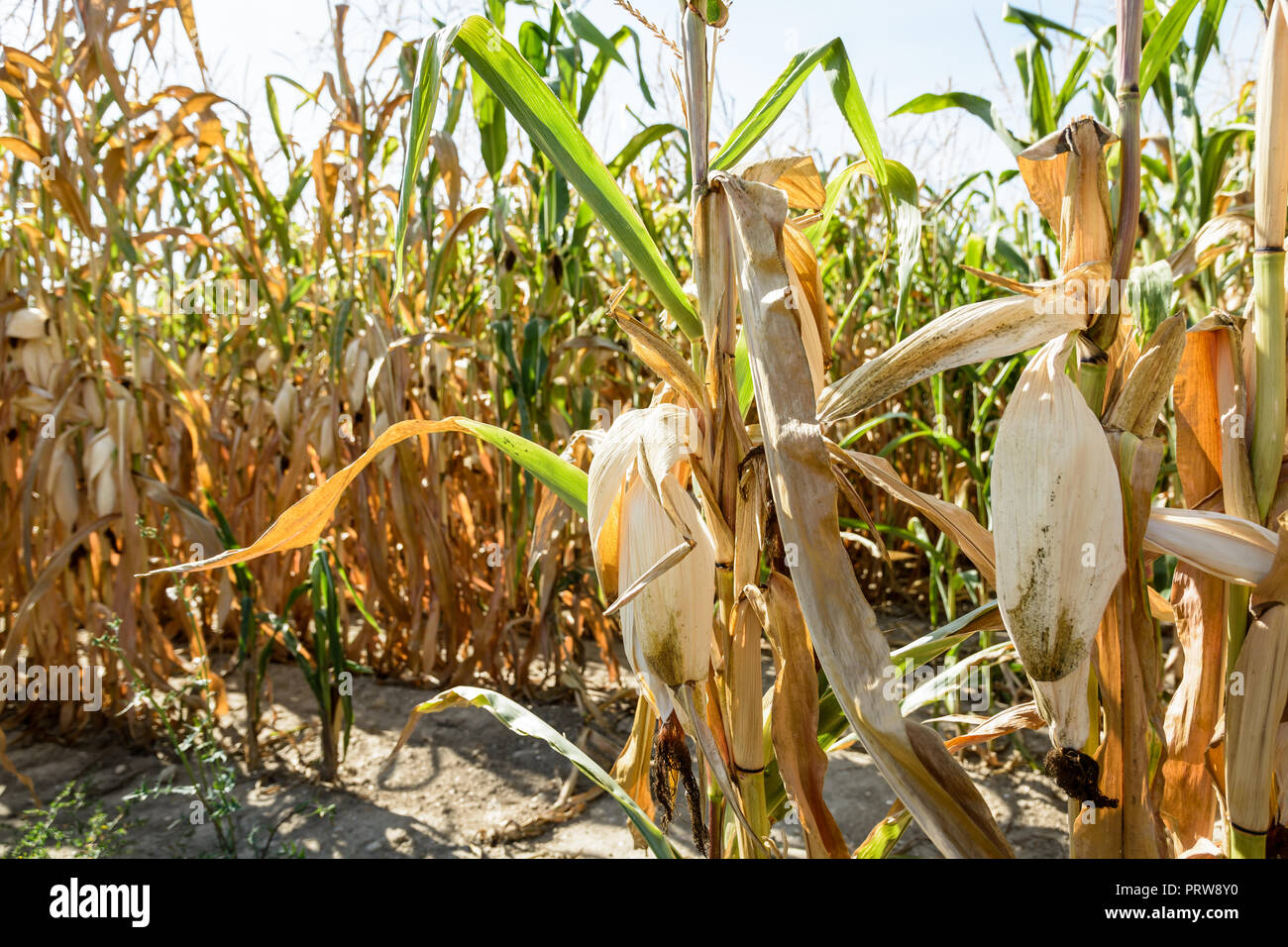 Drought hits corn crop. Close-up view of dry ears of corn in a field affected by drought during a hot, dry summer in the french countryside. - Stock Image