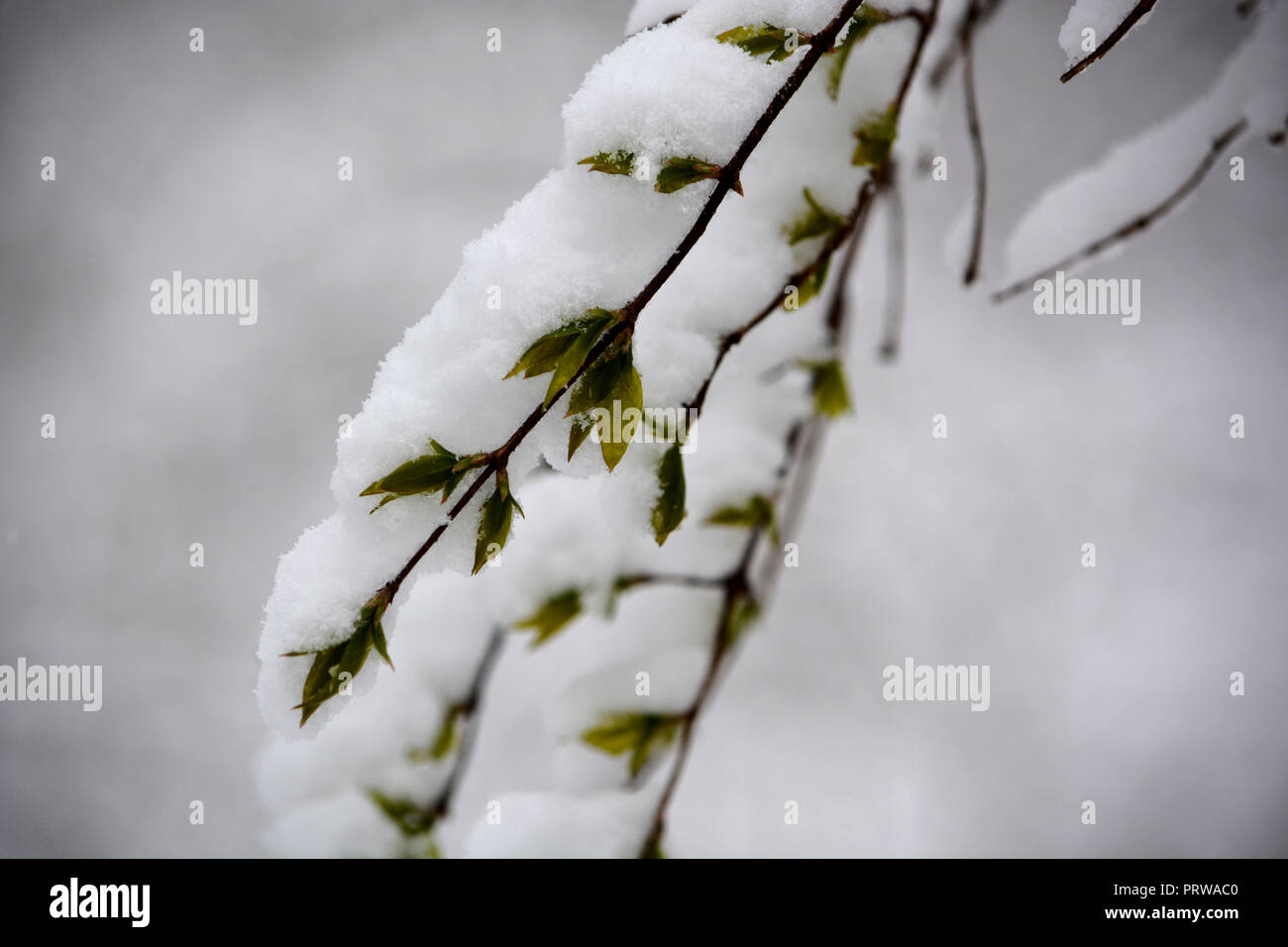 Early Spring snow on honeysuckle branch. Taken in McCollugh Estate Nature Preserve. - Stock Image