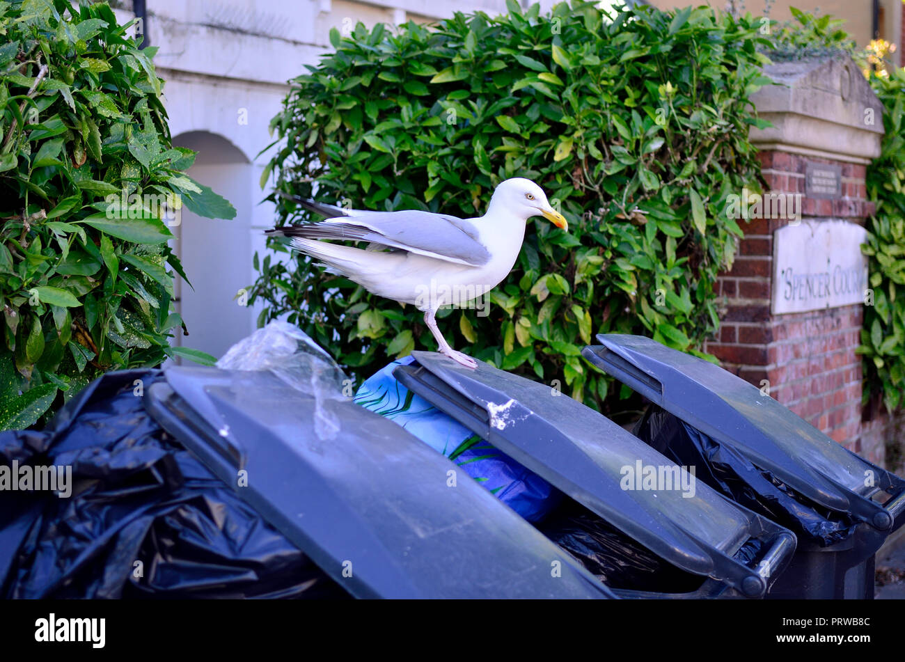 Herring Gull (Larus argentatus) on domestic rubbish bins, Eastbourne, England. - Stock Image