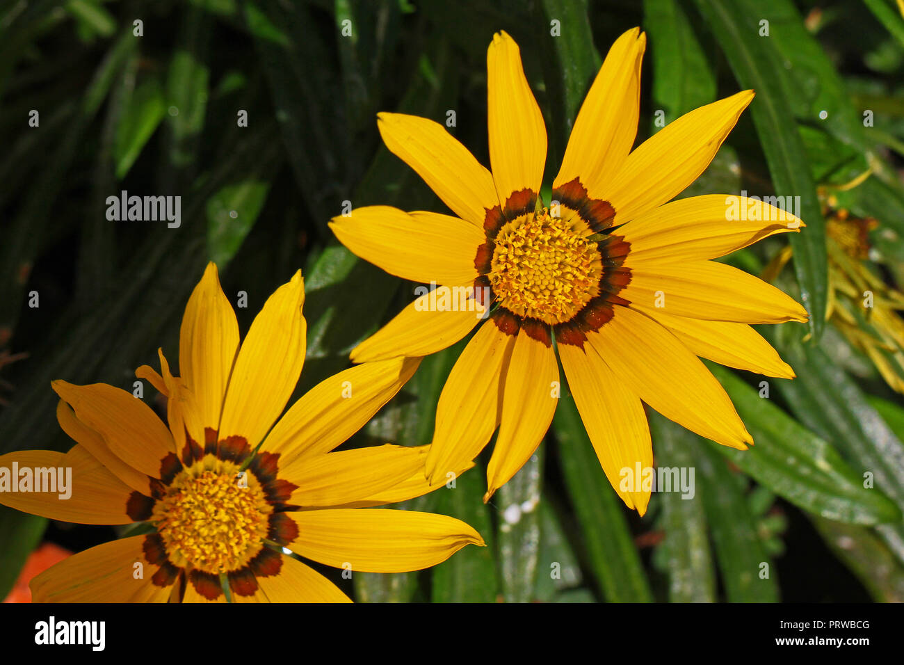 bright yellow gazania rigens or splendens variegata compositae asteraceae also known as treasure flower blooming in late summer in Italy - Stock Image
