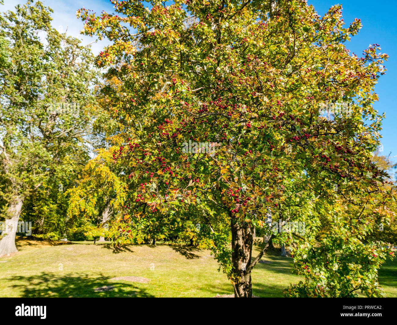 Red hawthorn berries on tree, Crataegus, in Autumn sunlight, Gosford House Pleasure Grounds and Policies, East Lothian, Scotland, UK - Stock Image