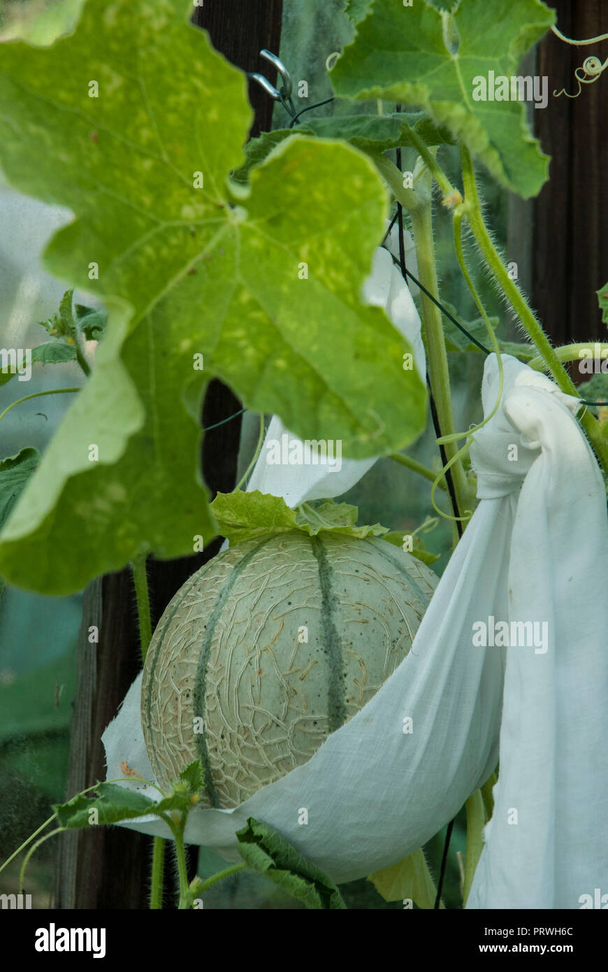 Charentais cantaloupe melon supported in a sling. How to grow and support melons with a 'sling support' as it thrives in a green house in London UK - Stock Image