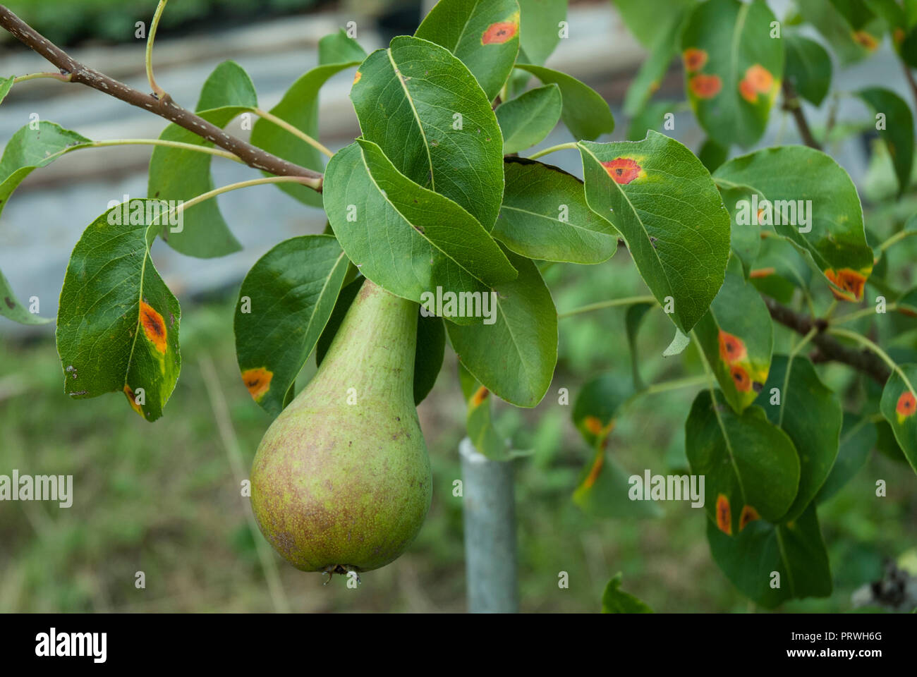 Bright orange spots of fungal rust on the leaves of a Conference pear. (Instructional, how to recognise pear rust). - Stock Image