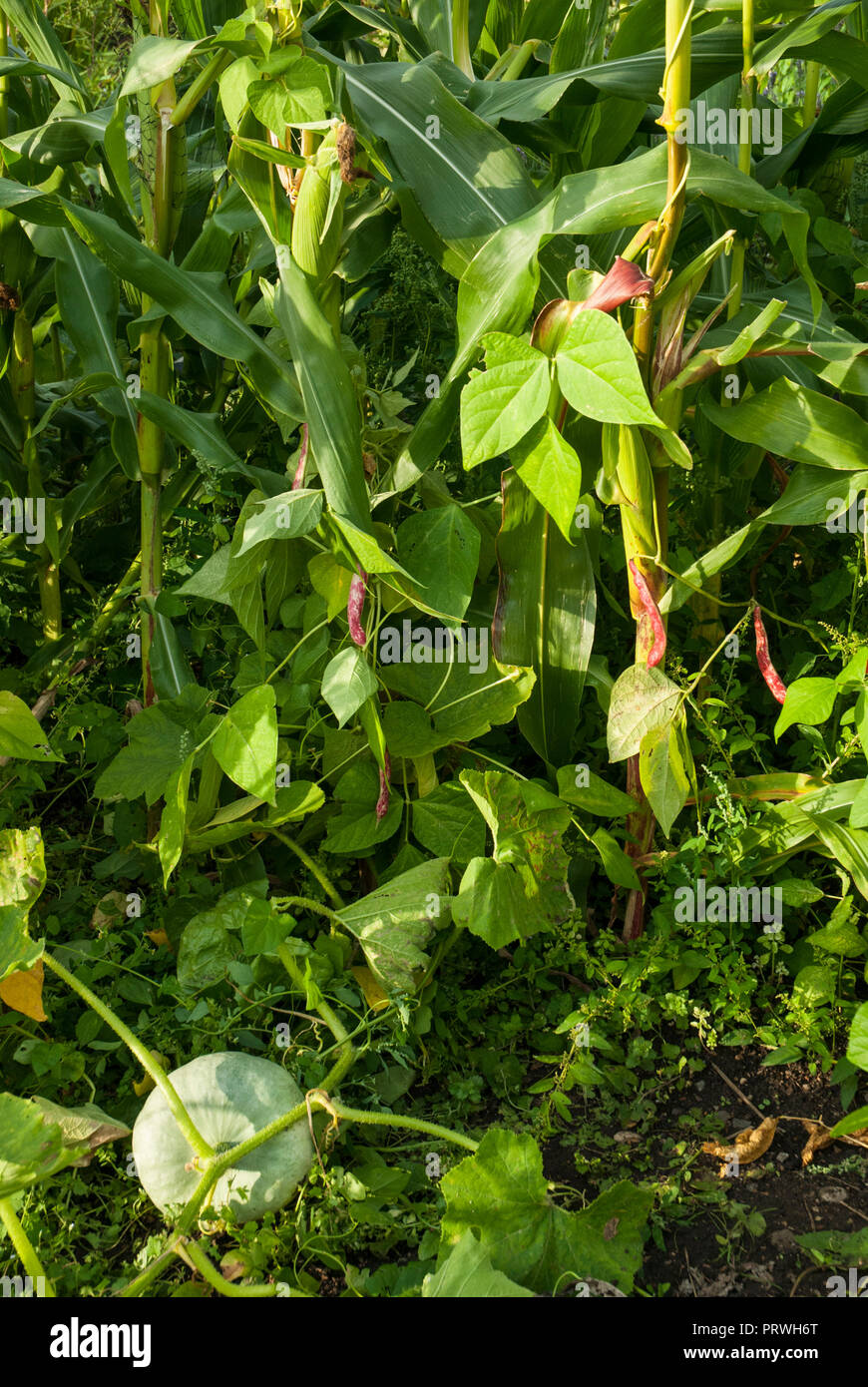 Three sisters method of growing with beans planted to grow up sweet corn/ maize and pumpkins growing underneath. Instructional-three sisters method. - Stock Image