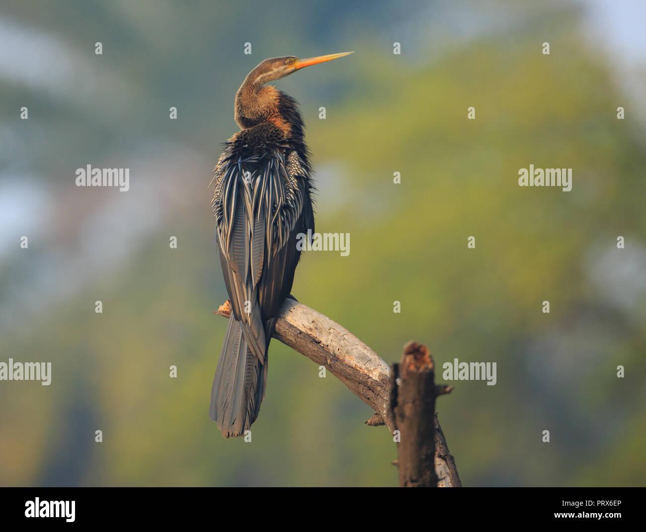 Darter - at Bharatpur Bird Sanctuary (India) - Stock Image