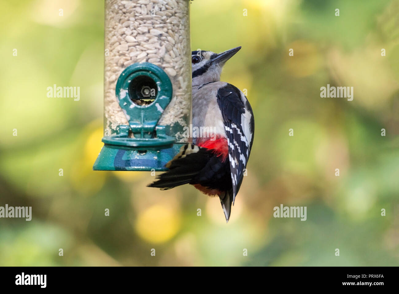 Great spotted Woodpecker (Dendrocopos major) feeding on sunflower seed hearts while clinging onto a feeder. Black and white buff underparts and red. - Stock Image
