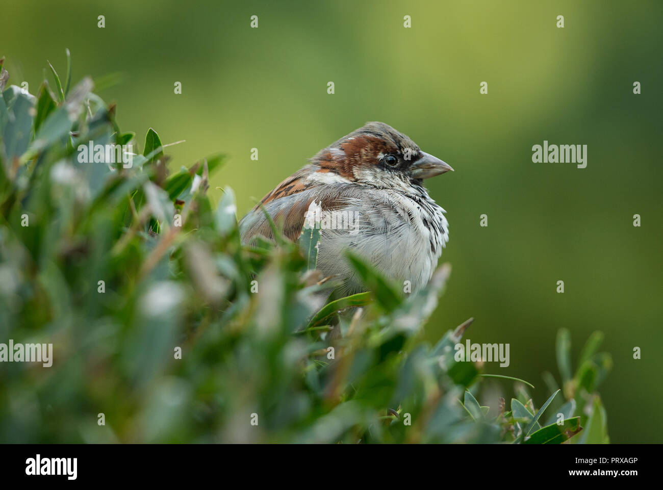 Tree sparrow. Scientific name: Passer montanus)  Male tree sparrow perched in natural habitat of garden shrubbery.  Facing right.  Horizontal. - Stock Image