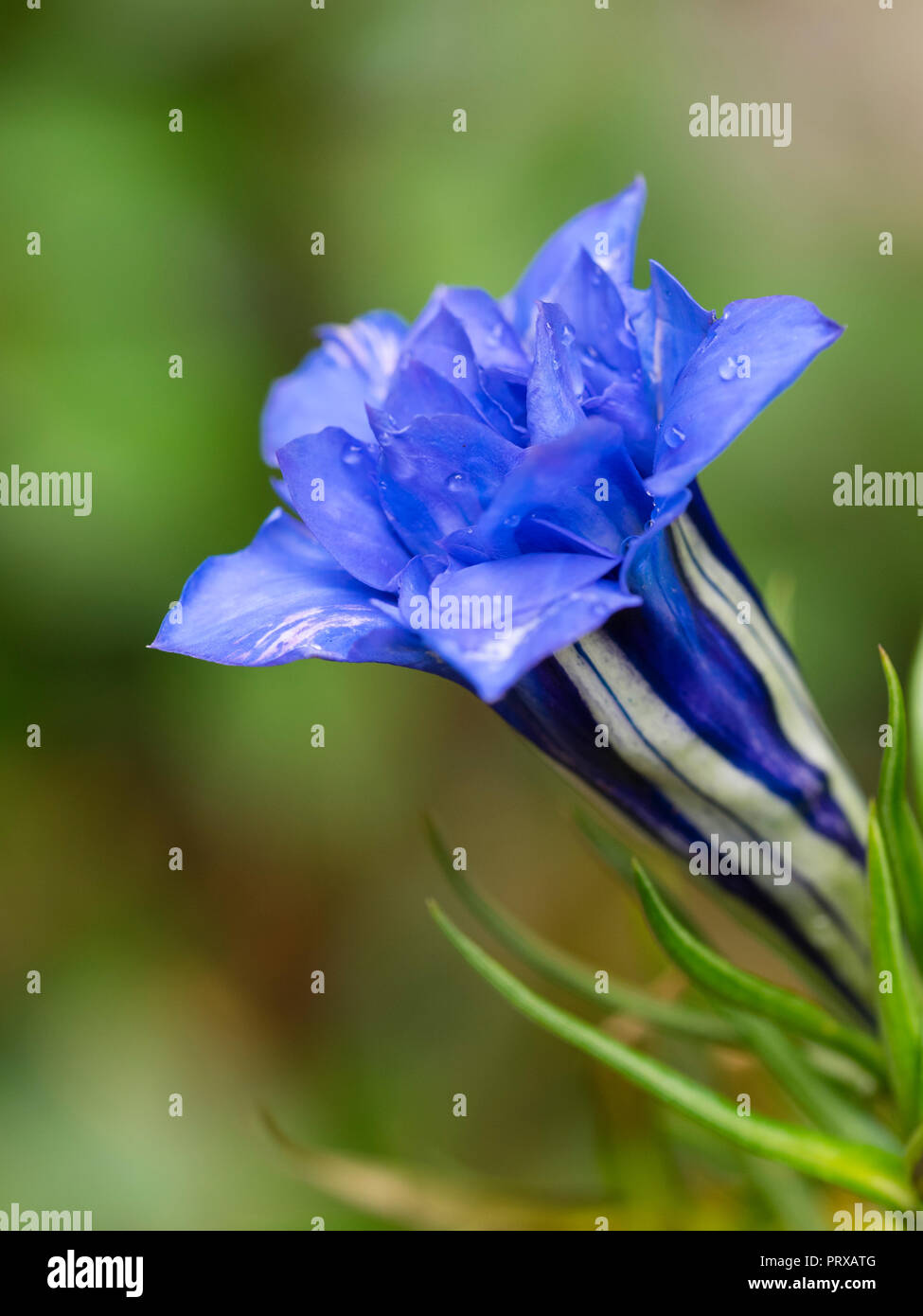 White lined blue double flowers of of the hardy, Autumn blooming alpine perennial gentian, Gentiana sino-ornata 'Eugens Allerbester' Stock Photo