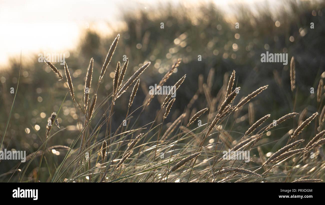 Golden straws - Stock Image