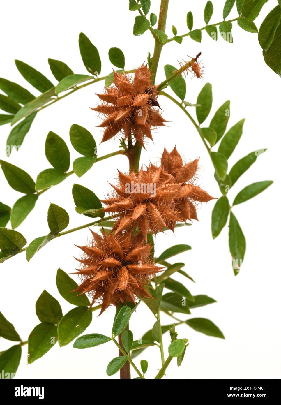 Suessholz, Glycyrrhiza glabra Stock Photo