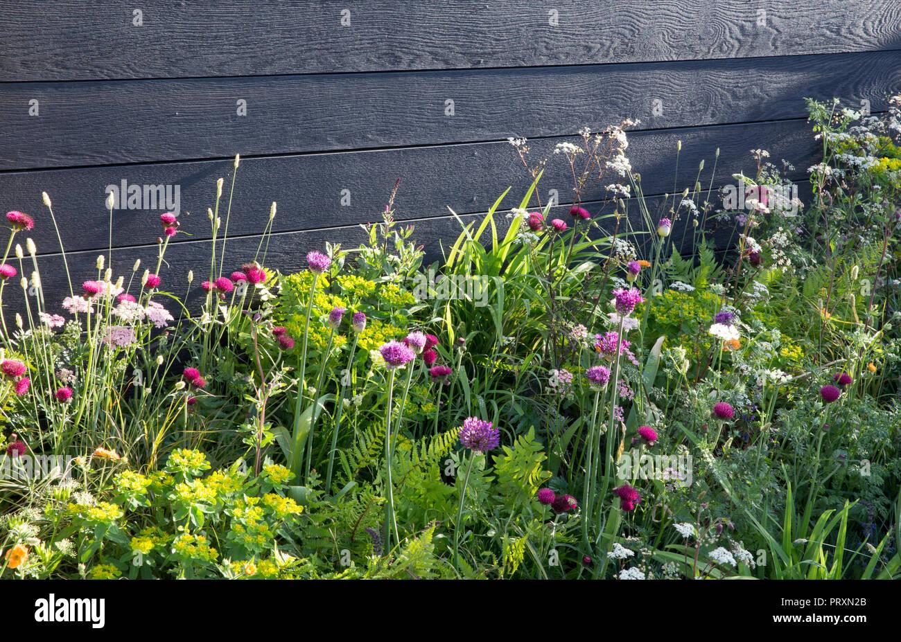 Black wood garden fence, meadow style planting of Allium hollandicum 'Purple Sensation', Cirsium rivulare 'Atropurpureum', Geum 'Totally Tangerine', M - Stock Image