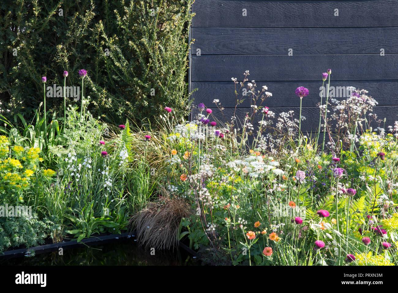 Black wood garden fence, Taxus baccata hedge, meadow style planting of Allium hollandicum 'Purple Sensation', Cirsium rivulare 'Atropurpureum', Geum ' - Stock Image