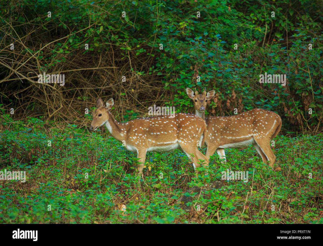 Spotted Deer - at BR Hills Sanctuary (Karnataka, India) - Stock Image