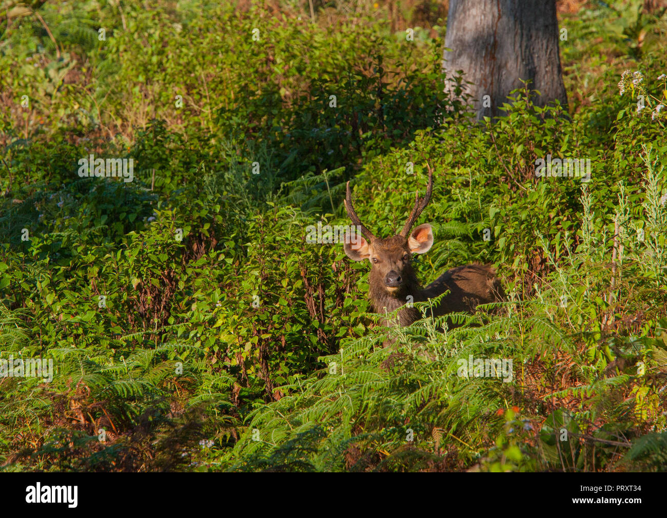 Sambar Deer - at BR Hills (Karnataka, India) - Stock Image