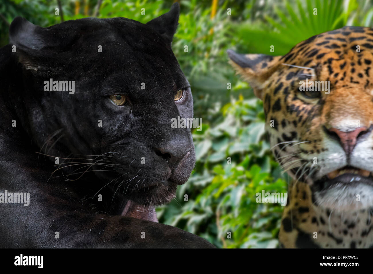 Close up portrait of two jaguars (Panthera onca) one melanistic jaguar / black panther is a black color morph, native to Central and South America - Stock Image