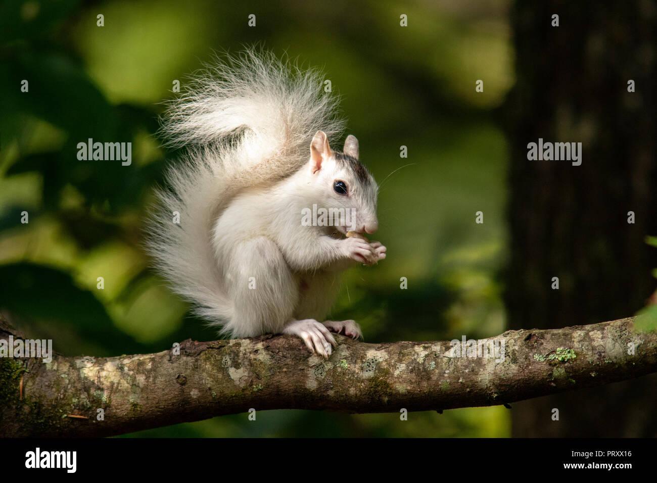 White Squirrel - color variant of Eastern Gray Squirrel (Sciurus carolinensis) - Brevard, North Carolina, USA - Stock Image
