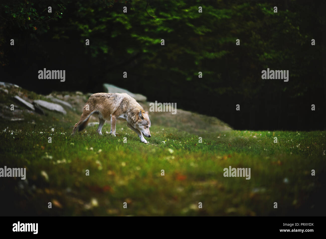 The Wolf walking and sniffing on meadow with dark forest on backround. Canadian Timber Wolf in motion. - Stock Image