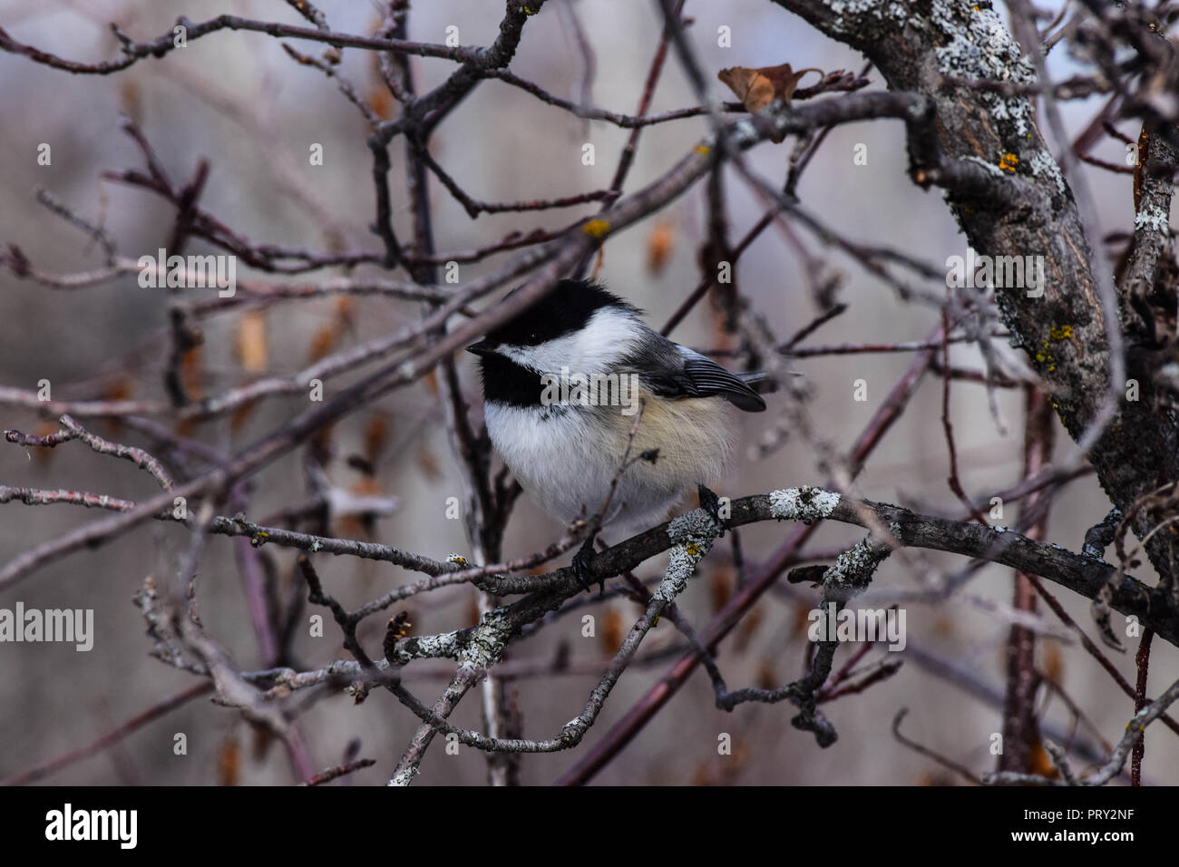 Chickadee on the branch of a tree - Stock Image