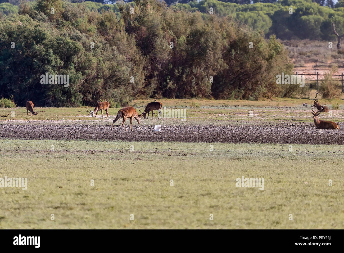 Deers fighting during mating season in 'Doñana National Park' Donana nature reserve in El Rocio village at sunset - Stock Image