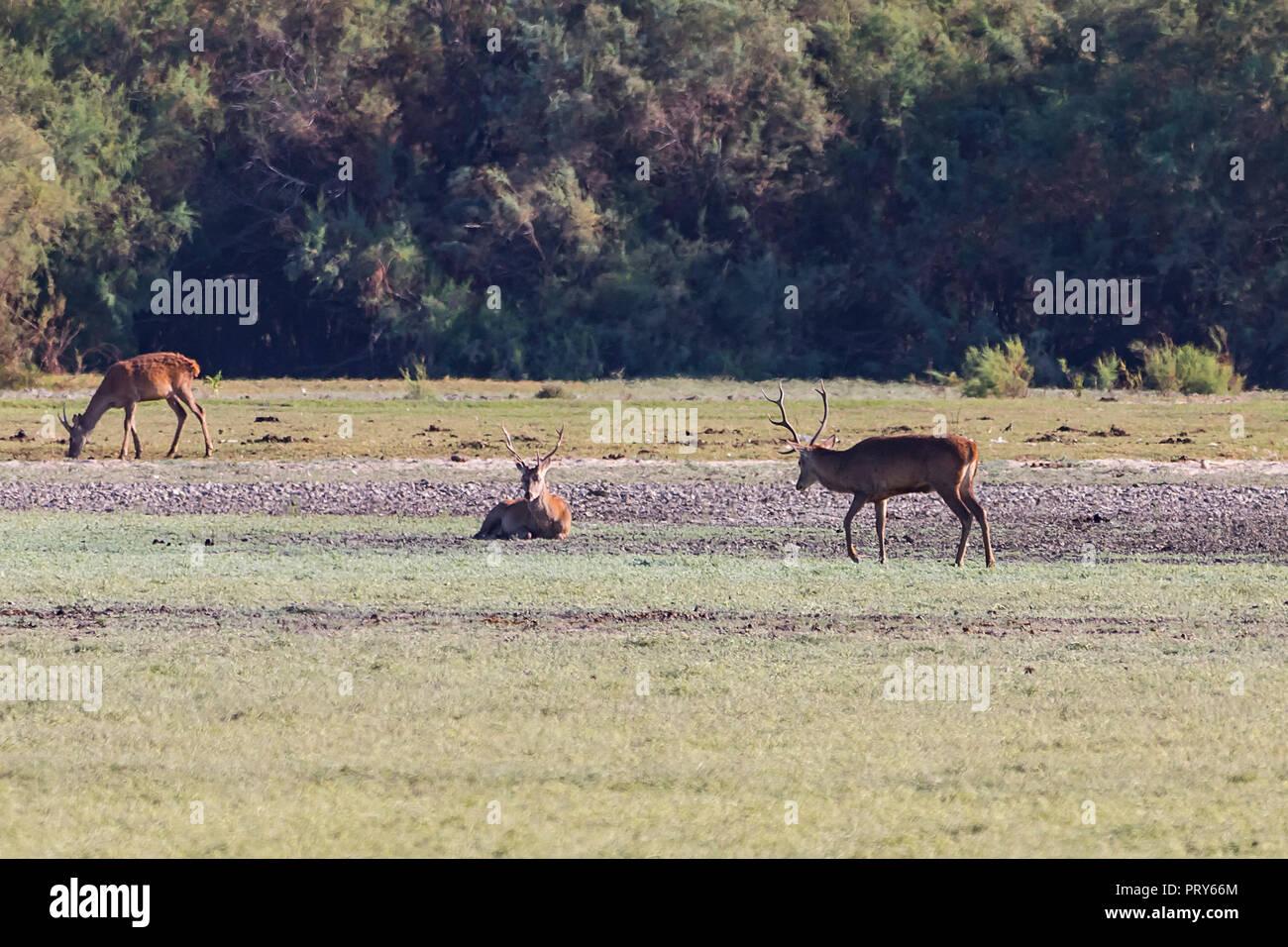 Deers during mating season in 'Doñana National Park' Donana nature reserve in El Rocio village at sunset - Stock Image