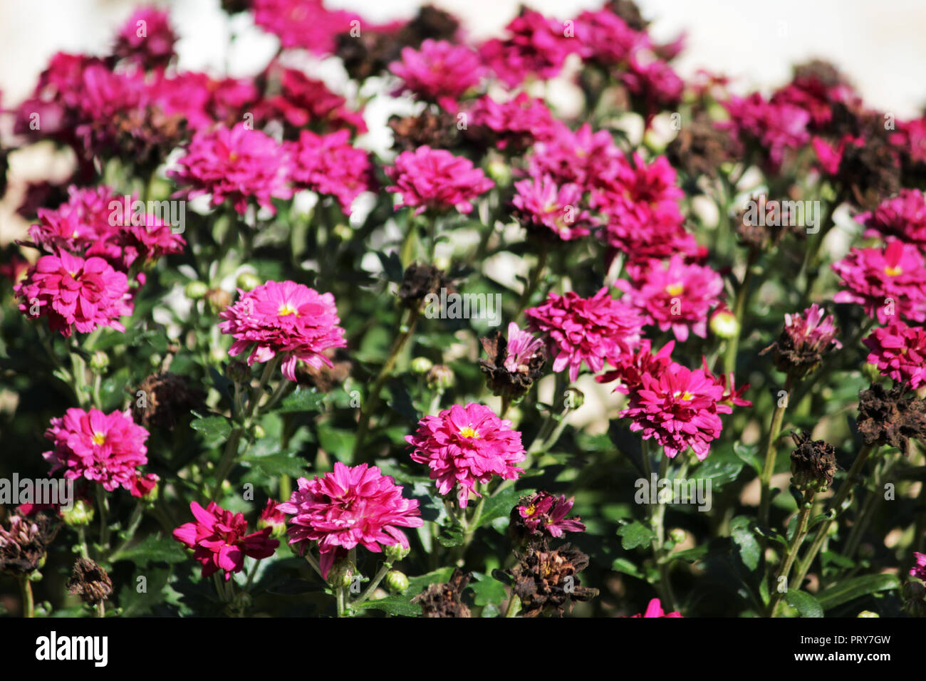 perennial spray chrysanthemum dark pink color with fading flowers in the fall on a city flowerbed. - Stock Image
