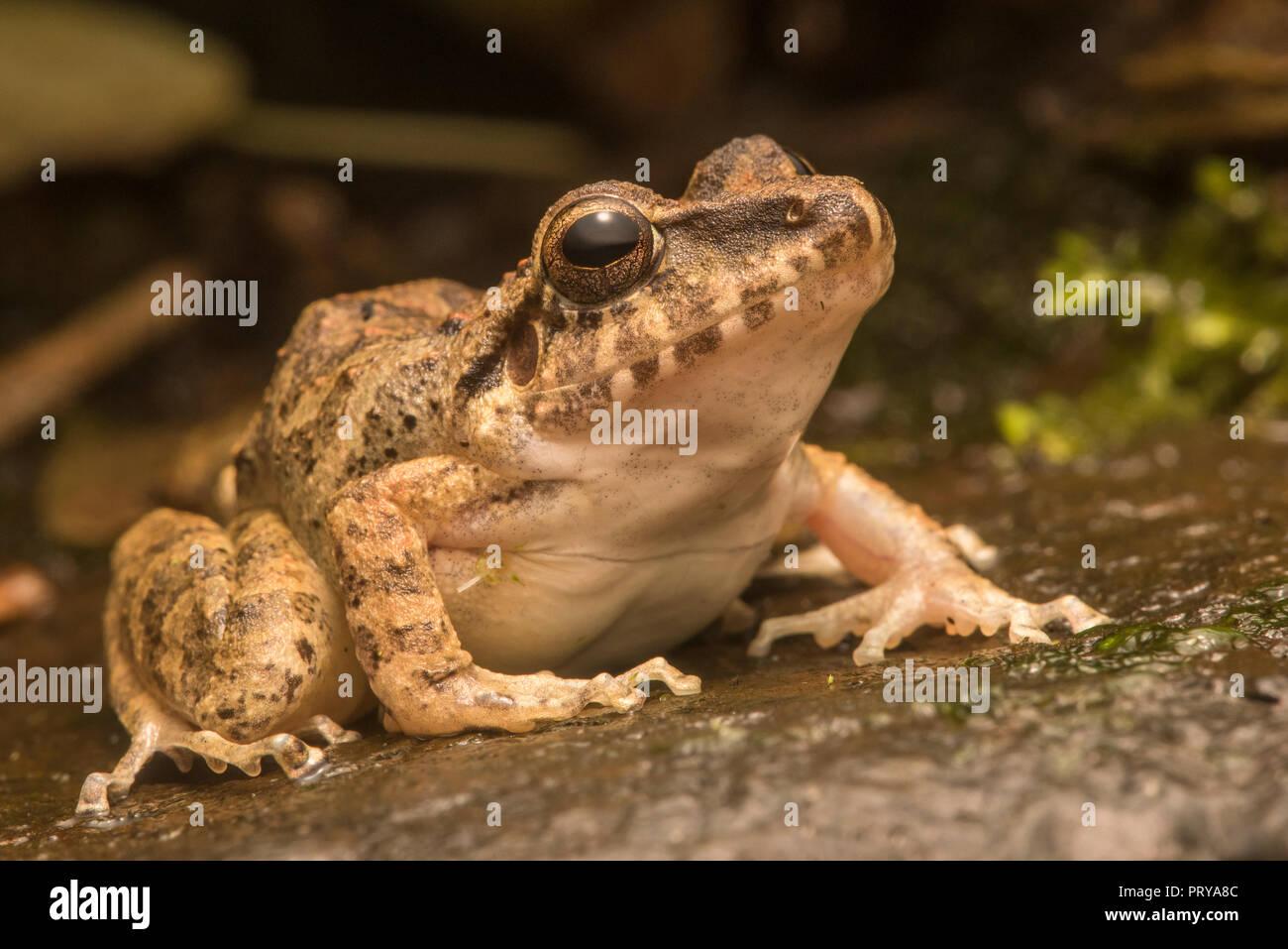 A jungle frog from Manu national Park, Peru. - Stock Image