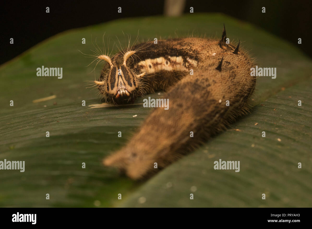 A owl butterfly (Caligo sp) caterpillar from Manu National Park in tropical Peru. - Stock Image