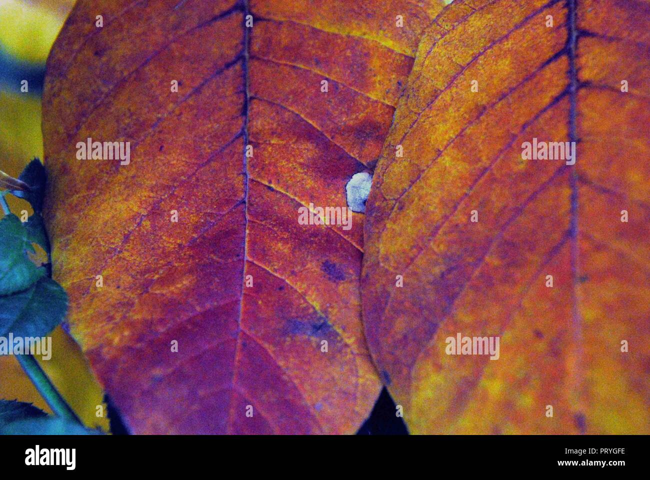 Close Up Of Beautifully Vibrant Colored Fall Leaves In Connecticut Stock Photo Alamy
