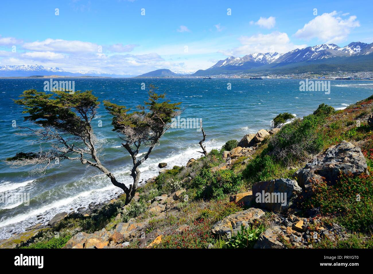 Tousled tree at the Beagle Canal, at the back harbour and town, Ushuaia, Tierra del Fuego Province, Tierra del Fuego, Argentina - Stock Image