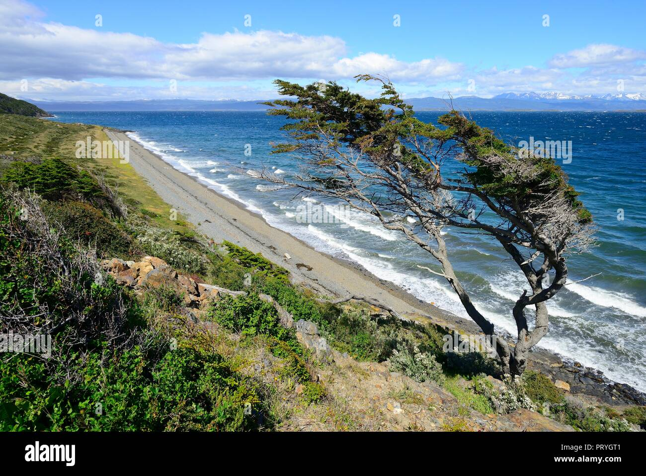 Tousled tree on the Beagle Canal, Ushuaia, Tierra del Fuego Province, Tierra del Fuego, Argentina - Stock Image