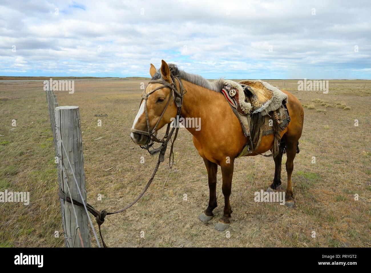 Tied, saddled horse, Tierra del Fuego province, Tierra del Fuego, Chile - Stock Image