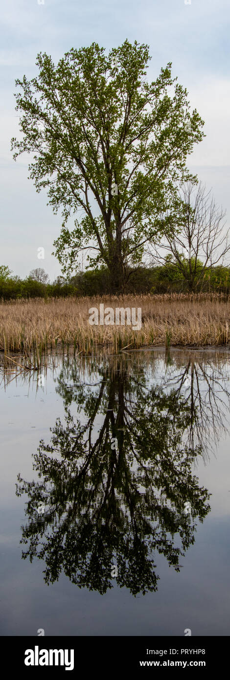 solitary tree reflected in smooth water - Stock Image