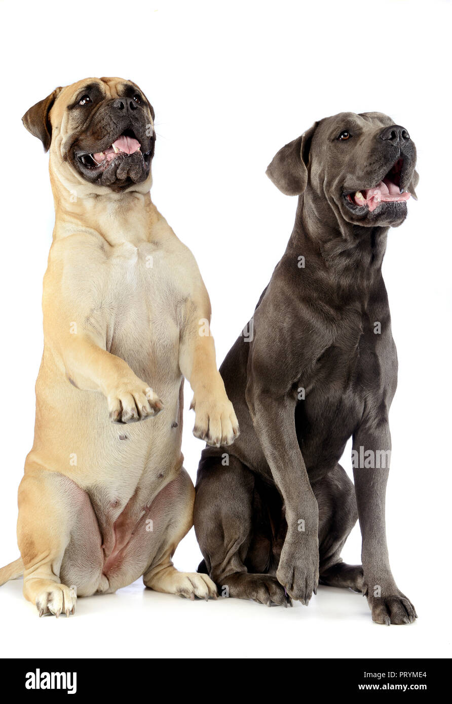 Bull Mastiff And Puppy Cane Corso Sitting And Standing In A White